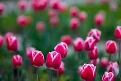 Blooming Orange, Magenta, Red Color Tulip Flowers royalty free stock photos