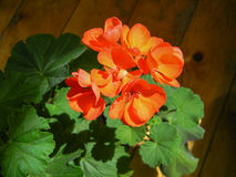 Blooming orange pelargonium zonale stock photo
