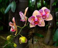 Blooming orange and pink orchids. Stock Image