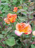 Blooming orange and pink roses on the green bush Stock Photos