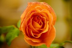 Blooming orange rose. In the garden Stock Images