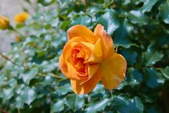 Blooming orange rose growing in the garden close up.  royalty free stock photography