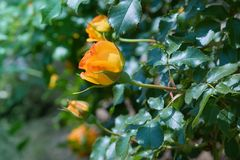 Blooming orange rose growing in the garden close up.  royalty free stock photo