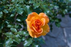Blooming orange rose growing in the garden close up.  stock photo