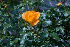 Blooming orange rose growing in the garden close up.  stock image