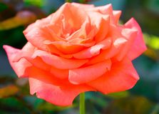 Orange rose growing in the garden close up. Blooming orange rose growing in the garden close up royalty free stock images