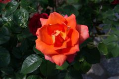 Blooming orange rose with opening petals - Garden flowers, blossoms stock photography