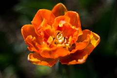 The blooming orange tulip in the spring Stock Photography