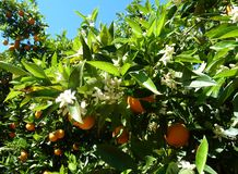 Blooming oranges garden in spring Spain royalty free stock photo