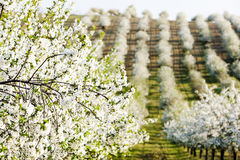 Blooming orchard Royalty Free Stock Images