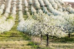 Blooming orchard Royalty Free Stock Photo