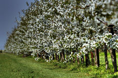 Blooming orchard Royalty Free Stock Photography