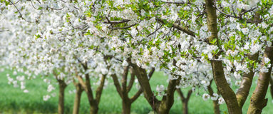 Blooming orchard. Blooming apple orchard in spring Stock Photography