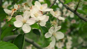 Blooming orchard. Apple Trees. In blossom. Dolly shot stock video footage