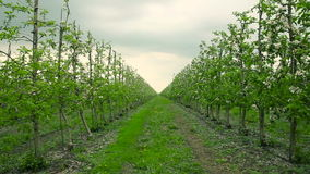 Blooming orchard. Apple Trees. In blossom. Dolly shot stock footage