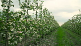 Blooming orchard. Apple Trees. In blossom. Vertical pan stock video
