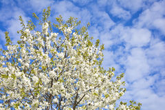 Blooming orchard on a background of blue sky   with white clouds Stock Photography