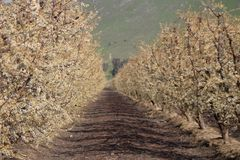 Blooming Orchard in Fresno County royalty free stock image