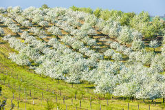 Blooming orchard. In spring, Czech Republic Stock Images