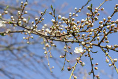 Blooming orchard in spring Royalty Free Stock Photography