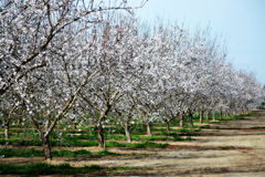 Blooming Orchard Stock Photos