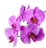 Blooming orchid Stock Images