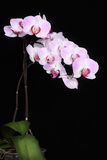 Blooming orchid. Blooming pink orchid on black Royalty Free Stock Photography