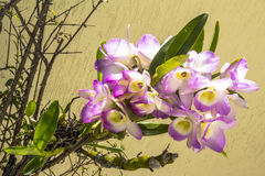 Blooming orchid Stock Photo