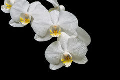 Blooming orchid branch isolated on black background close-up Royalty Free Stock Photos