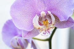 Blooming Orchid stock photos