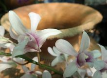Blooming Orchid on clay jar Stock Photo
