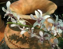 Blooming Orchid on clay jar Royalty Free Stock Image