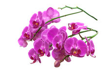 Blooming orchid close-up isolated on white background Stock Photos