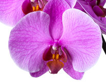 Blooming orchid Stock Photography