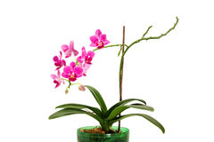 Blooming Orchid in flower pot. Beautiful blooming Orchid in green flower pot Royalty Free Stock Images