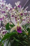 Blooming orchid and green leaves Stock Photography