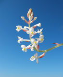 Blooming Orchid Ludiziya or Haemaria Stock Photo