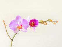 Blooming Orchid Royalty Free Stock Photo