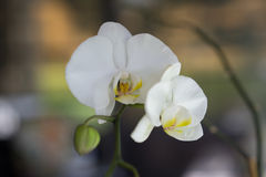 A Blooming Orchid Stock Photography