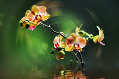 Blooming orchid royalty free stock image