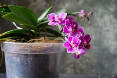 Blooming orchid Royalty Free Stock Photography