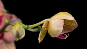 Blooming Orchid Time Lapse stock video footage