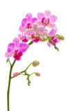 Blooming orchid on a white background Royalty Free Stock Photos