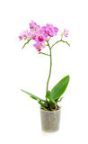 Blooming orchid on a white background Royalty Free Stock Image