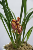 Blooming  orchids Royalty Free Stock Photo