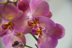 Blooming  orchids Stock Photos