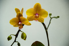 Blooming  orchids Royalty Free Stock Photography