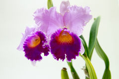 Blooming  orchids Stock Images