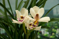 Blooming  orchids Royalty Free Stock Images