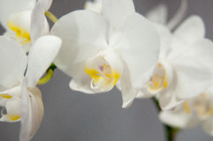 Blooming  orchids Royalty Free Stock Image